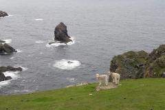 Schafe am Abgrund Herma Ness Shetland